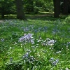 Bluebell Weeks - Fairhaven Woodland