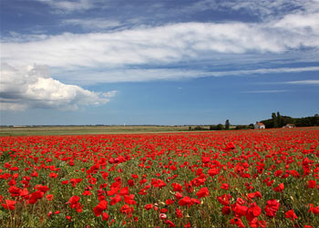 Poppy Fields, Norfolk
